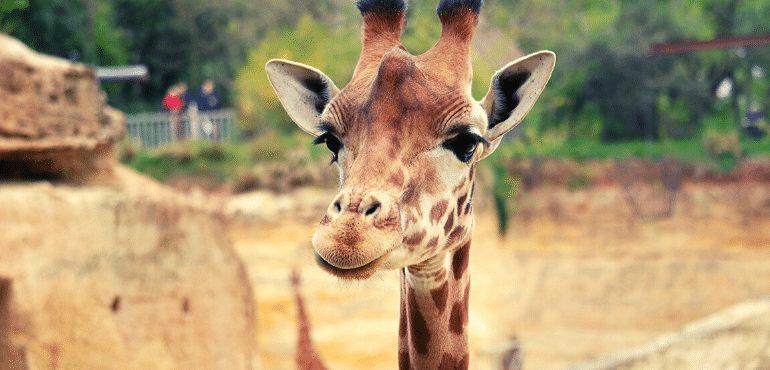 Girafa Bioparc